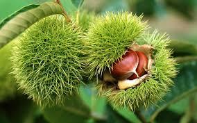 Foto Divlji kesten plod